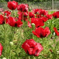 Papaver orientale Brilliant - Blood Red Oriental Poppy
