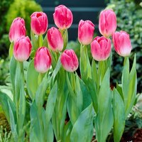 Tulip Dynasty - Pack of 10 Bulbs