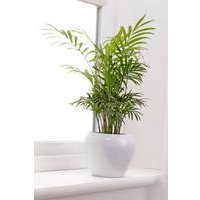 Personalised Parlour Palm