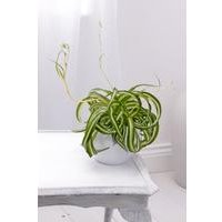 Personalised Spider Plant