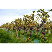 Sedlescombe Organic Deluxe Vineyard Tour And Tasting For Two In East Sussex Picture