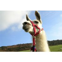 Llama Trekking With Cream Tea For One Picture