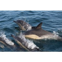 Dolphin Watching for one - Dolphin Gifts