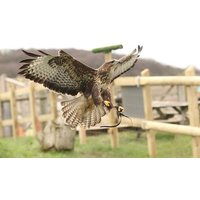 Half Day Falconry Experience With Coda Falconry Picture