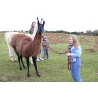 Meet And Greet Llama Experience With Afternoon Cream Tea For Two Picture