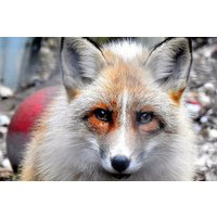 Meet the Red Fox with Lunch for Two at Ark Wildlife Park - Wildlife Gifts
