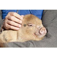 Pig Keeper Experience For Two At Kew Little Pigs Picture