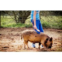 Piggy Pet and Play for Two at Kew Little Pigs - Pigs Gifts