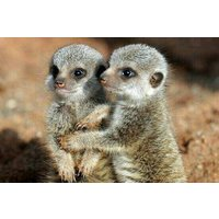 Meerkat Experience At Viaduct Sanctuary Picture