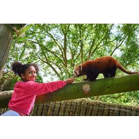 Red Panda Encounter At Drusillas Zoo Park Picture