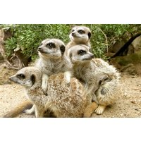 Meerkat Encounter At Drusillas Zoo Park Picture