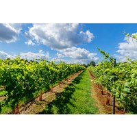 Vineyard Tour With Wine Tasting For Two At Kingscote Estate Picture