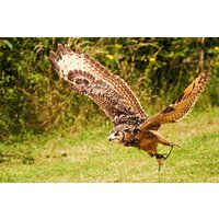 2 Hour Birds Of Prey Experience For Two At Cj's Birds Of Prey Picture