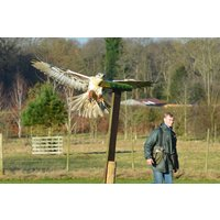 Hawk Walk And Flying Experience For Two At Willows Bird Of Prey Centre Picture