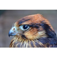 Birds Of Prey Experience With Cream Tea For Two At Willows Bird Of Prey Centre Picture