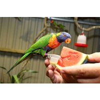 Meet The Lorikeets And Afternoon Tea For Two At Kirkley Hall Zoo Picture