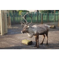 Adopt a Reindeer including Tickets to Paradise Wildlife Park - Reindeer Gifts