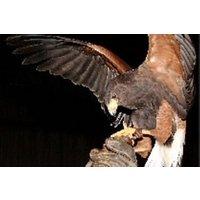 Birds Of Prey Experience In Fife