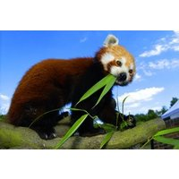 Adopt A Red Panda Including Tickets To Paradise Wildlife Park Picture