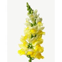 Snapdragons bunch of 20