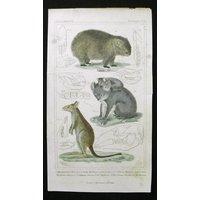 1835 KOALA WOMBAT KANGAROO  Cuvier fine handcolored engraving. Original Antique Print. Animal. Zoology. Natural History. - Kangaroo Gifts