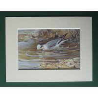 1930s Antique Matted Ornithology Print of a RedNecked Phalarope by Natural History Artist Allen W Seaby - Artist Gifts