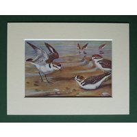 1930s Antique Matted Ornithology Picture of a Kentish Plover on a Beach by Natural History Artist Allen W Seaby - Artist Gifts