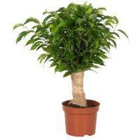 B&Q Ficus wrap