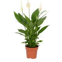 B&Q Peace lily