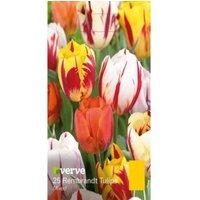 Tulip Rembrandt mixed Bulbs