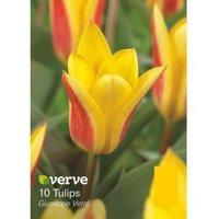 Tulip Giuseppe verdi Bulbs
