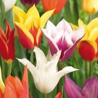 Tulip Lily flowering mixed Bulbs