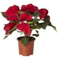 Poinsettia in 10.5cm Plastic Grow pot