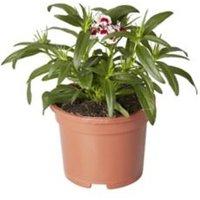 Dianthus Autumn Bedding plant  10.5cm Pot  Pack of 3
