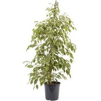 Weeping fig assorted in 21cm Pot