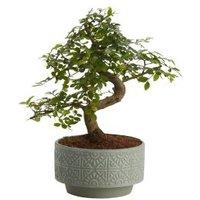 GoodHome Japanese elm bonsai in 15cm Pot