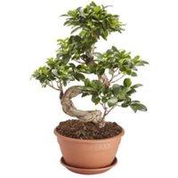 GoodHome Ficus ginseng bonsai in 20cm Pot