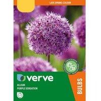 Allium Purple Sensation Bulbs  Pack of 50