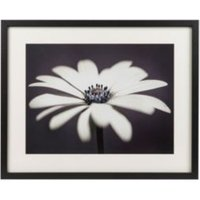 African daisy Black Framed art (W)530mm (H)430mm