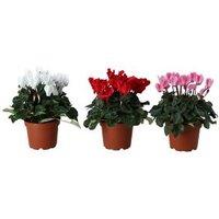 Cyclamen in 12cm Plastic Grow pot