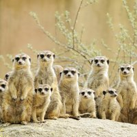 Meerkat Encounter For Two Experience Day - Meerkat Gifts