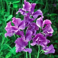 Pack of 50 Sweet Pea 'Oxford Blue' Seeds