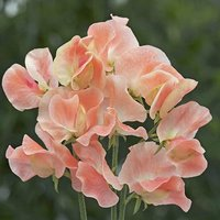Pack of 50 Sweet Pea 'Apricot Queen' Seeds