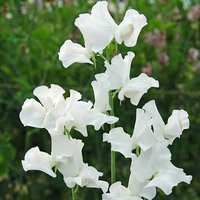 Pack of 50 Sweet Pea 'White Frills' seeds