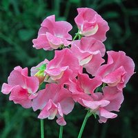 Pack of 50 Sweet Pea
