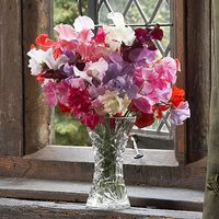 Sweet Pea Super Scent Packet of 100 seeds