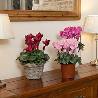 Christmas Cyclamen 13cm - 3 plants in flower in mix of colou