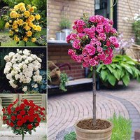 Patio Standard Rose Collection with 4 Planters