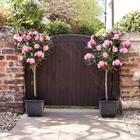 Pair of Pink Oleander Standards with Tulipa Planters & 50g Finest Fertiliser