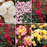 Groundcover Roses both collections = 6 plants